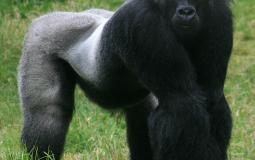 Male_gorilla_in_SF_zoo.jpg