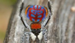 عناكب راقصة.jpg