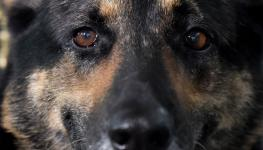 كلب كورونا.jpg
