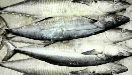أسماك الكنعد.jpg